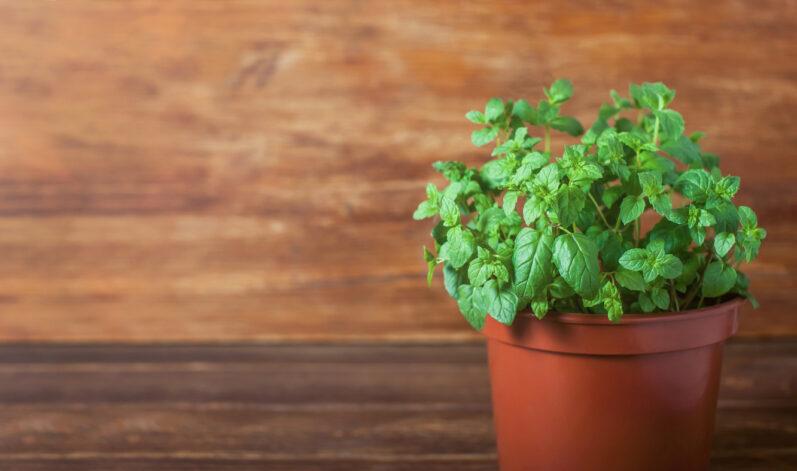4 chás que posso plantar em casa