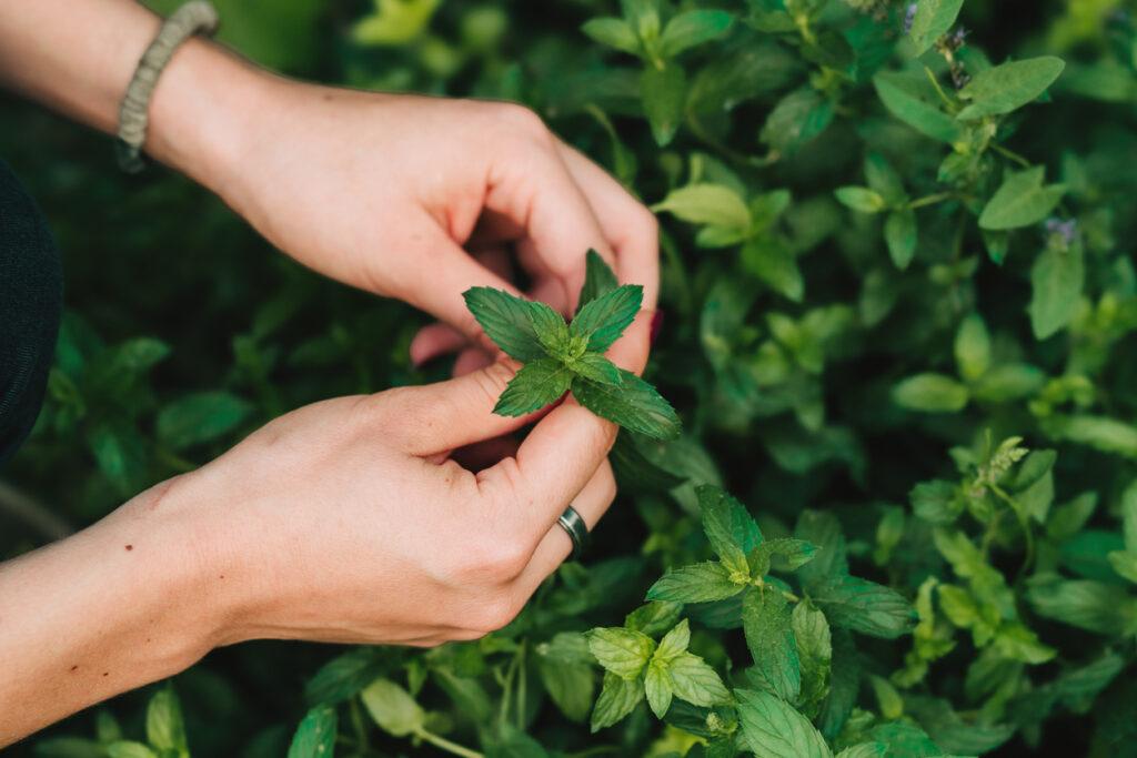 Chá de hortelã para plantar em casa